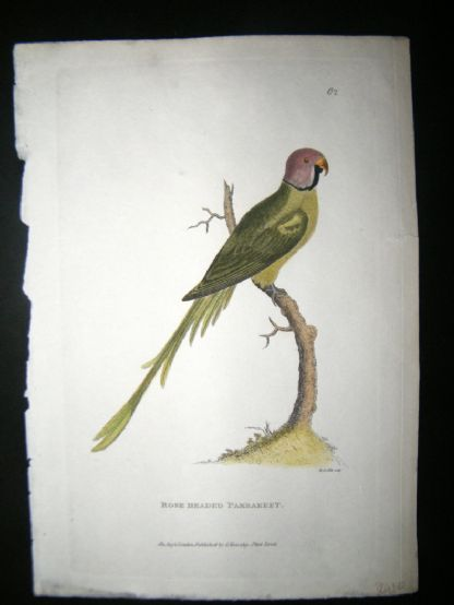 Shaw C1800's Antique Hand Col Bird Print. Rose Headed Parakeet